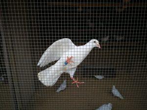 vogels puy du fou
