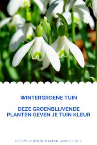 sneeuwklokje is een van de groenblijvende planten die kleur geven in de wintergroene tuin